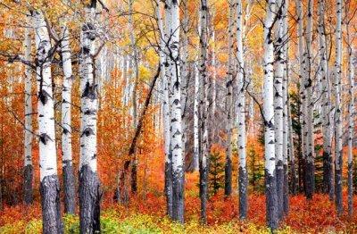 aspen-trees.jpg
